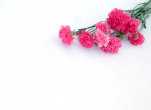 248782_carnations_pink_2