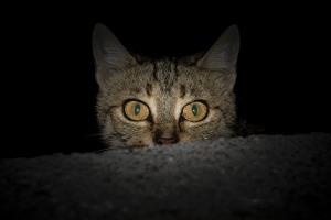 cat peering in the night