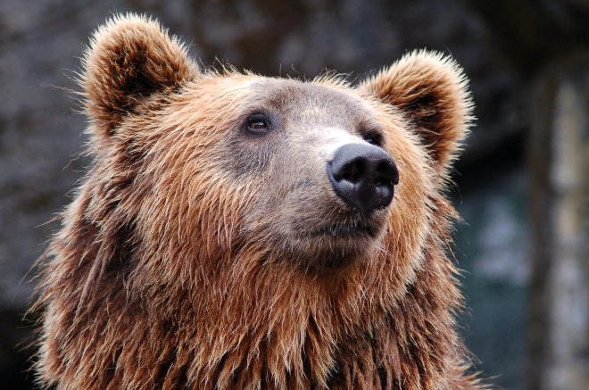 picture of a bear